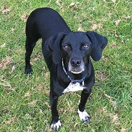 Beagle trainer Devon