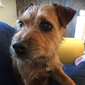 Border X Lakeland Terrier