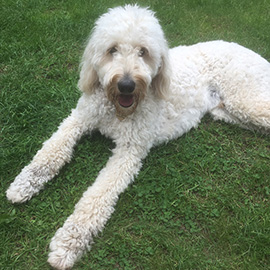 Labradoodle Trainer Exeter