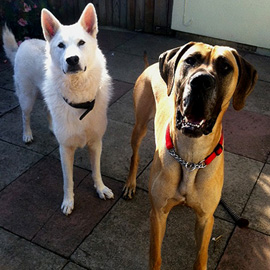great dane dog trainer